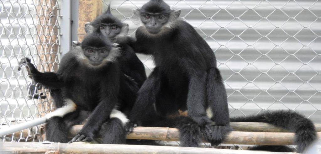 Queen's in conservation partnership to protect critically endangered monkeys