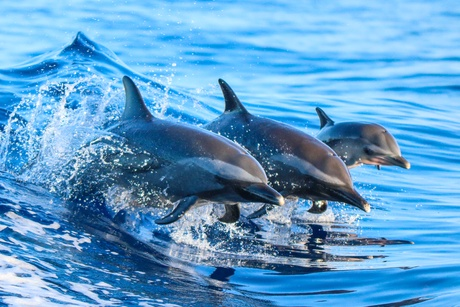 New insights into whales and dolphins highlight conservation threat